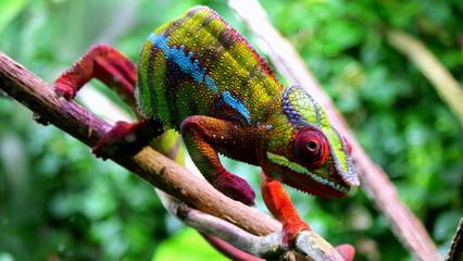 Photo sur Aluminium Cameleon Piękny kolorowy kameleon idący po gałęzi