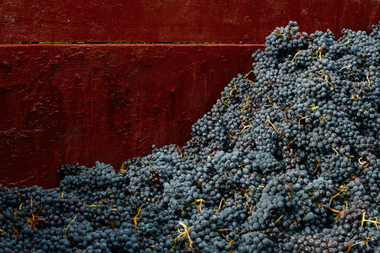 Close up of grapes into the trailer after harvest