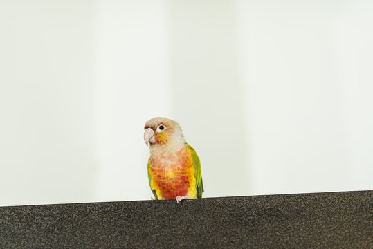 Small multicolored parrot or parakeet