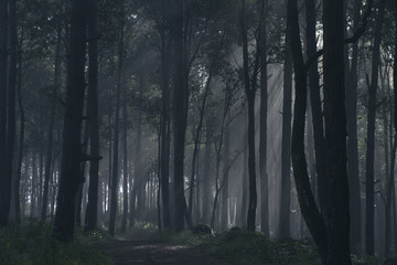 Dark spooky forest with fog.