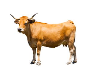 Brown cow isolated