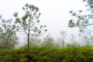 Pine trees and Fern in the cold and foggy rain forest, gray sky background. despair or hopeless concept.