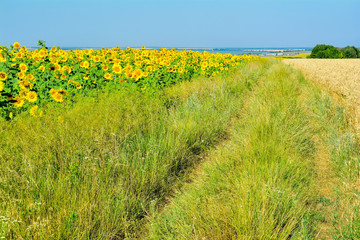 Road overgrown with grass that separates the field sunflower and wheat field.