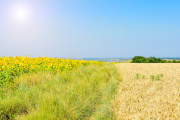Sunny summer day, field of sunflowers, wheat field, an abandoned road overgrown with grass.