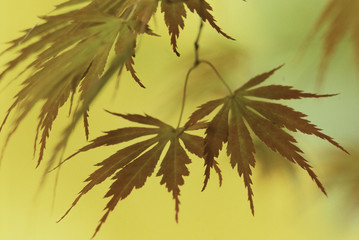 telephoto japanese maple (acer palmatum) leaves backlit by trees in autumn golden color