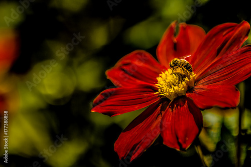 Red flower yellow center with bee on yellow center green black red flower yellow center with bee on yellow center green black blurry background mightylinksfo