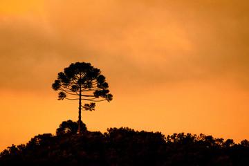 Araucaria Tree Silhouette