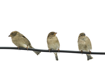 funny little sparrows sitting on a black wire on a white isolated background