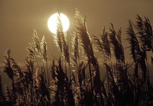 telephoto closeup phragmites grass weeds (phragmites australis) in wetlands on the coast of Delaware