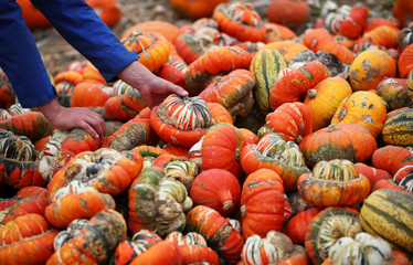 A farmer inspects his pumpkin crop at Foxes Farm in Colchester