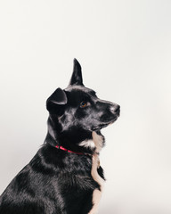 A black dog sitting in front of a gray backdrop, looking alert