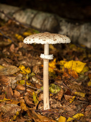 Parasol moushroom growing in a deciduous forest