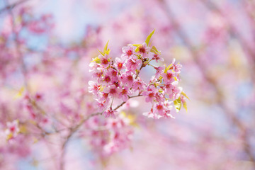 Prunus cerasoides, Natural background