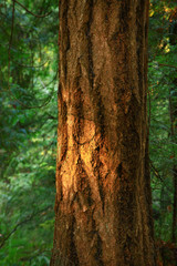 a picture of an Pacific Northwest forest and Douglas fir tree