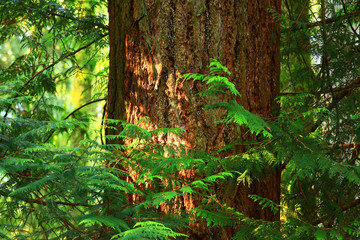 a picture of an Pacific Northwest forest with a  old growth Douglas fir tree