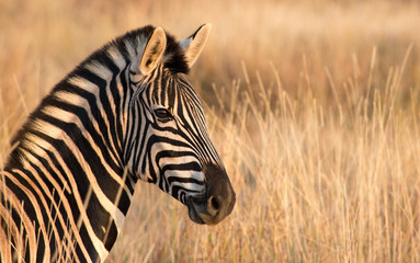 Zebra left Portrait