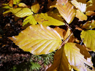 Colored beech leaf, (Fagus sylvatica), Autumn-colors,