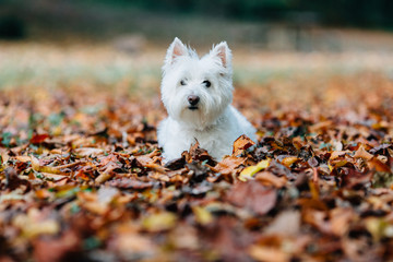 Adorable white dog laying in a bed of leaves