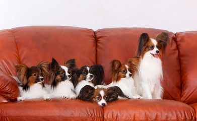 Many Papillon dogs lie on a brown leather couch. Lovely white puppies with red heads. Horizontal studio image. Continental toy spaniel