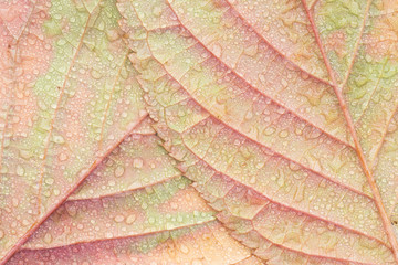 A pair of cherry tree leaves and raindrops in Autumn