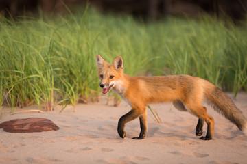 Single wild fox walking in natural outdoor animal environment