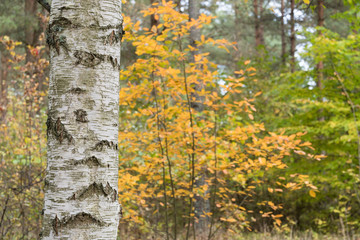 Birch tree trunk in a colorful forest