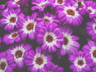 closeup of daisies