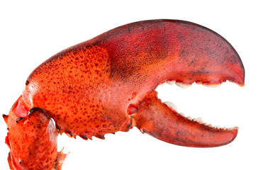 Red lobster's claw isolated on white background