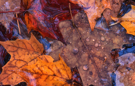 closeup macro autumn maple leaves floating in creek water droplets raindrops spray on surface
