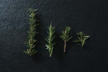 Rosemary on black background