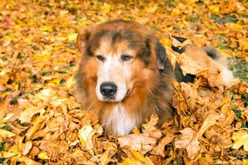 Hunde Senior im Herbst liegt im Laub
