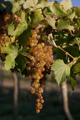 Torrentes Grapes On Vine In Argentina