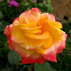 close-up of multicolor rose in garden