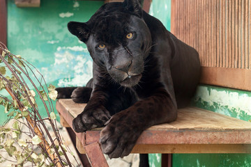 Black Jaguar in the Yekaterinburg Zoo