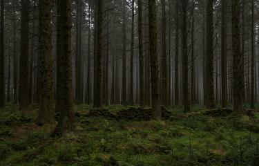 Bellever coniferous plantation, Dartmoor