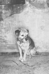 Black and white portrait of little dog