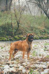 Adult bull mastiff in the forest