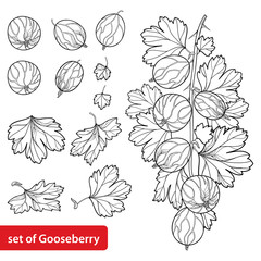 Vector set with outline Gooseberry. Branch with berry and leaves in black isolated on white background. Drawing of Gooseberry fruit in contour style for summer design and coloring book.