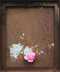 Pink rose against rusty metal backgroung
