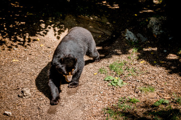 Ours à lunettes au Parc de la Tête d'or à Lyon