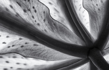 Oriental lily in black and white, closeup
