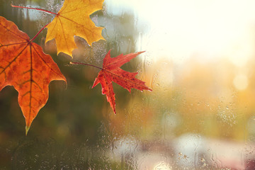 autumn weather outside the window/ red and yellow maple leaves and raindrops on the glass