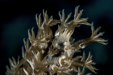 Black Sea Rod Coral Detail