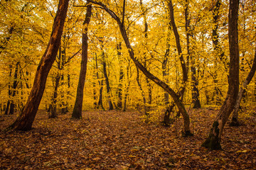 Autumn landscape with yellow forest