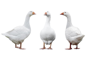 Three geese isolated