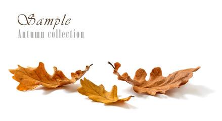 Oak leaves isolated on white background