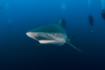 Silky Shark swimming with deep blue ocean background