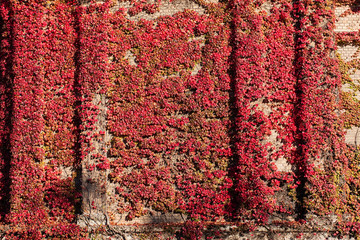 Red ivy covering old brick wall