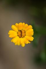 Caterpillar on a yellow daisy