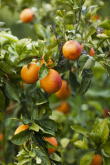 Citrus Growing on Trees